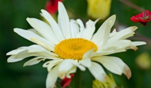 daisy-flower-close-up